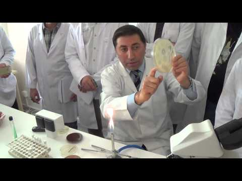Microbiology LAB - Growth and metabolism of Microbacteria -Practical Part