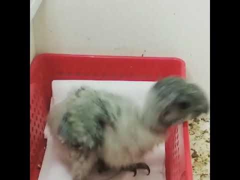 Pollito De Poicephalus Senegalus O You You Senegal Parrot Lorito Senegal