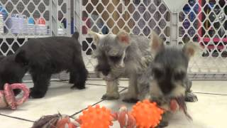 Miniature Schnauzer, Puppies, For, Sale, In, Newark, New Jersey, Nj, Woodbridge, Iselin, Pleasantvil