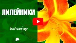 видео Лилейник Тайгер Блад