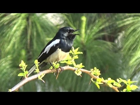 Oriental Magpie Robin Calling & Close up - Punakha, Bhutan