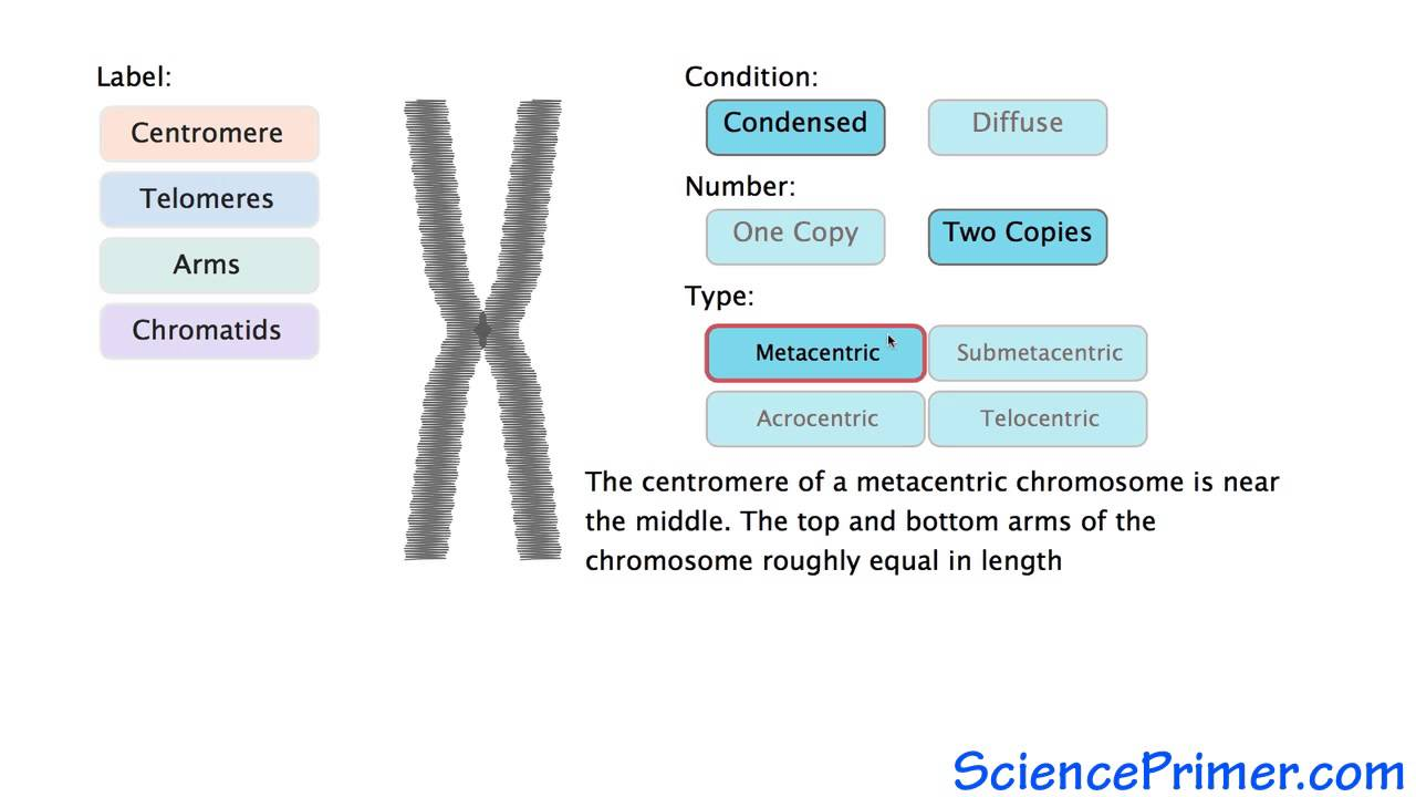 The Parts Of Chromosome Diagram - All Kind Of Wiring Diagrams •