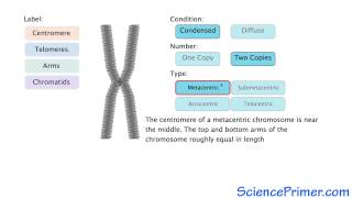 Eukaryotic Chromosome Structure Overview