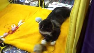 мейн кун самая большая и быстрая из домашних кошек