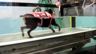 East End Vet Physical Rehab; Sparky January 14th Walking And Swimming.avi