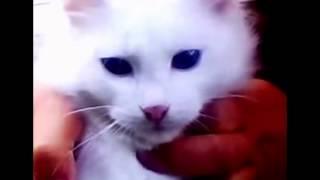 У белой кошки - карие глаза!