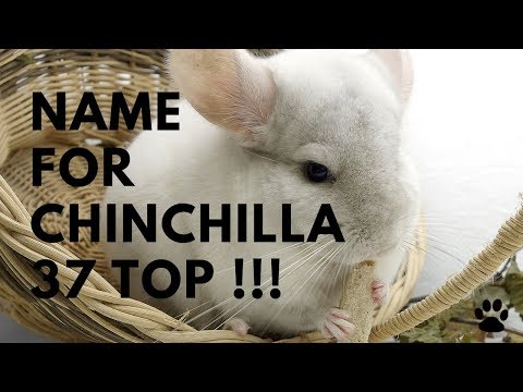 Name For Chinchilla - 37 TOP GREAT Ideas | Names