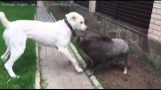 """Победила дружба!"" Туркмен Кала Гаты (Бахай) и мини-свинка."