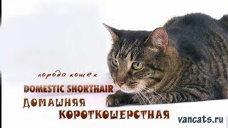 Домашние короткошерстные кошки, домашняя короткошерстная
