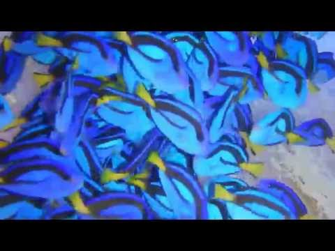 Sea Dwelling Creatures CAPTIVE BRED Blue Hippo Tangs!!