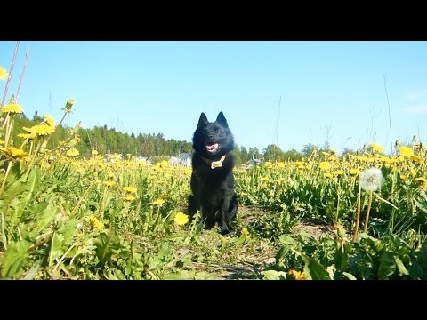 Jekku Shipperke goes for a walk. Jekku-schipperke menee lenkille.