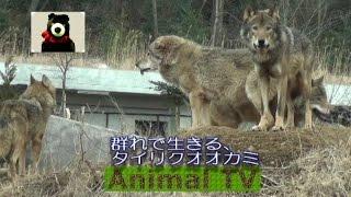 群れで生きる、タイリクオオカミ【アニマルテレビ】 一匹狼は自由に見え...