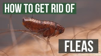 How to Get Rid of Fleas Guaranteed (4 Easy Steps)