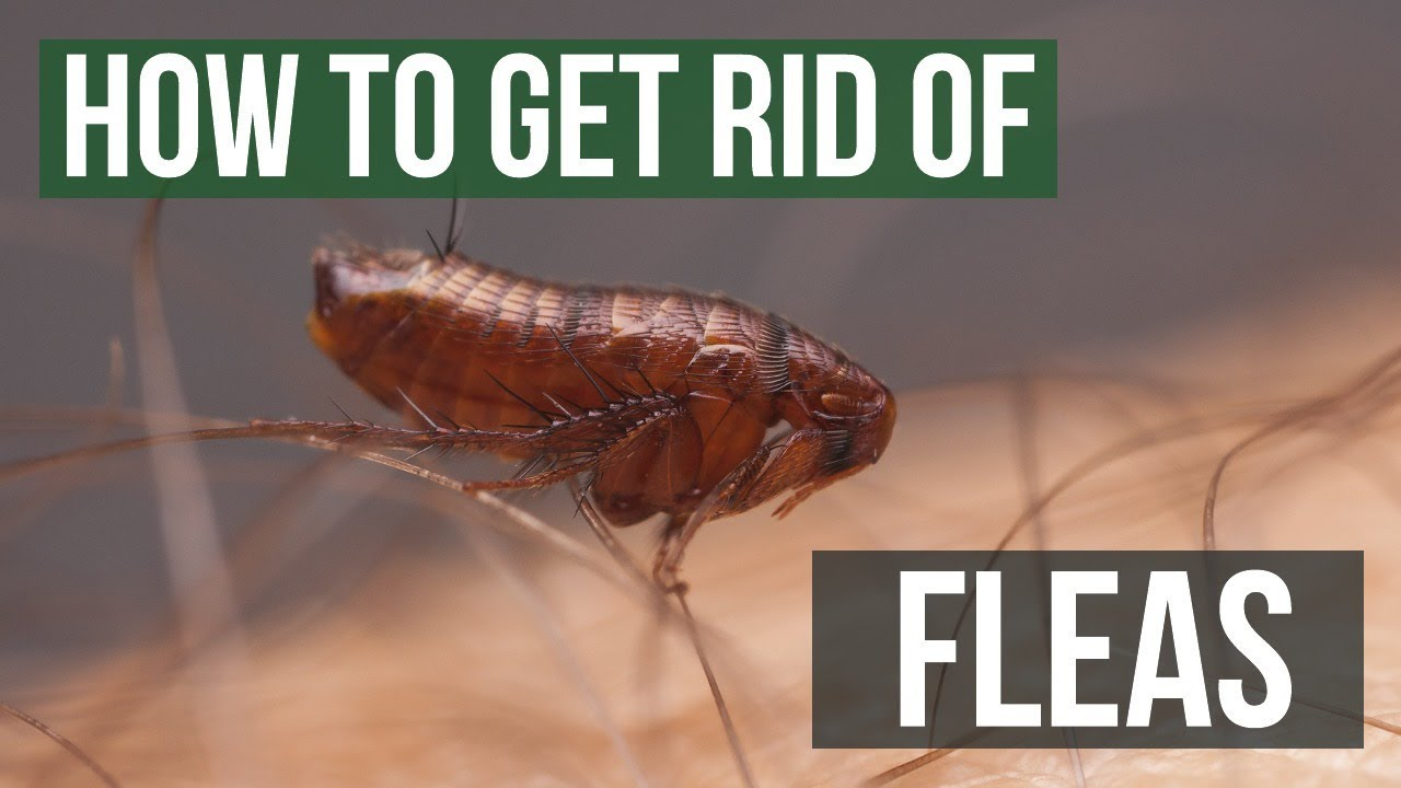 How To Get Rid Of Fleas Guaranteed 4 Easy Steps Youtube