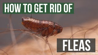 How to Get Rid of Fleas Guaranteed- 4 Easy Steps
