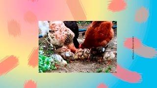 Цыплята кушают пшено(Цыплята кушают пшено с наседкой. Курицы тоже решили присоединиться. *******************************