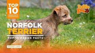 Norfolk Terrier  | Norfolk Terrier Dog Breed | Top 10 Norfolk Terrier Facts from Doggo Love
