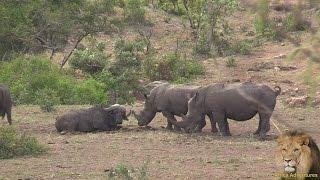 Baby Rhino Vs African Buffalo. Amazing.