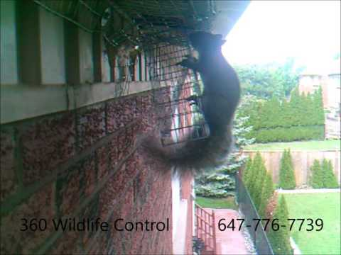 Squirrel Removal via one way door
