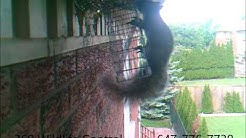 Squirrel Removal via one way door
