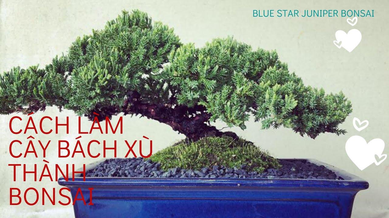 How To Create Blue Star Juniper Bonsai Cach Lam Mini Bonsai Từ Cay Blue Star Juniper Chỉ Tốn 12 Youtube