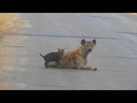 MVI 2659   Zogende hyena Kruger NP