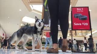 HUSKY SERVICE DOG RUNS LOOSE IN MALL!!