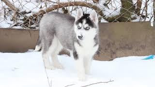 Щенок Сибирский Хаски чёрно-белая голубоглазая девочка.ПРОДАЁТСЯ