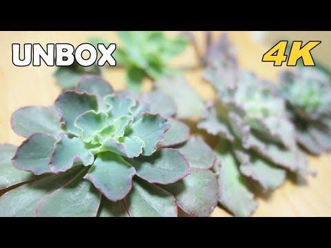 多肉植物開箱unbox succulents:buy succulents on the internet