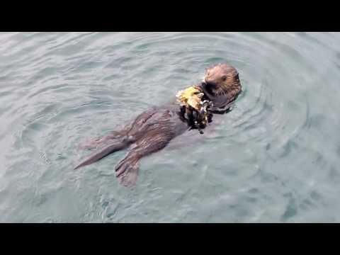 dutch harbor sea otter