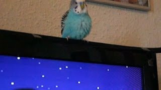 Budgie learning R2D2 sounds