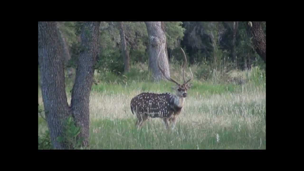 King Ranch Texas >> Texas Hill Country Axis Deer - King of The Forest - YouTube