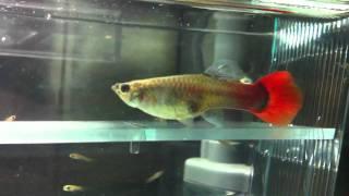 孔雀魚生產過程