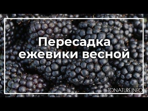 Пересадка ежевики весной | toNature.Info