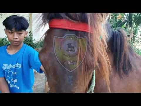 Cara Kuda Kawin