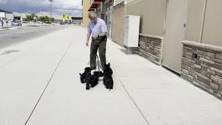 12Week Old Skye Terrier Puppies  First Outing