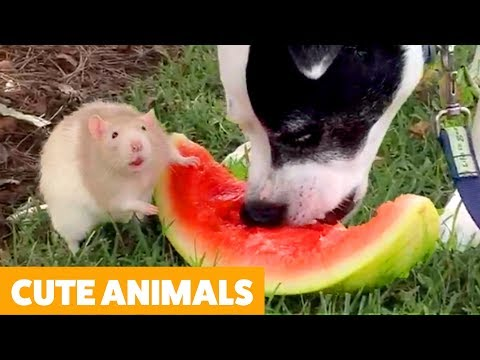 Try Not To Laugh - Cutest Funny Pet Videos!
