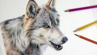 HOW TO DRAW A REALISTIC WOLF | Colored Pencil Drawing Tutorial