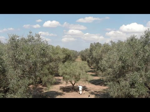 Xylella Fastidiosa - The Apocalypse of Salento