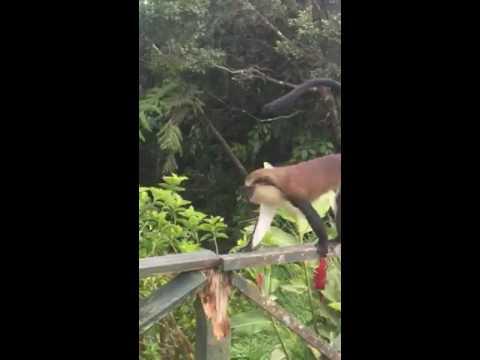Monkey business in Grenada