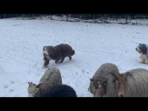 Herding with bearded collies Einstein and Thorin together