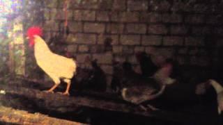 что делать если курицы едят свои яйца(, 2016-02-09T19:00:15.000Z)