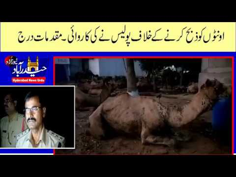 Police Siezed Camels in Balapur- Shaheen Nagar- Case Booked