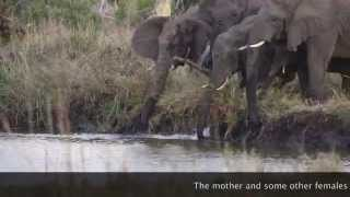 Elephant herd saves calf from drowning in a waterhole at Phinda.... heartwarming