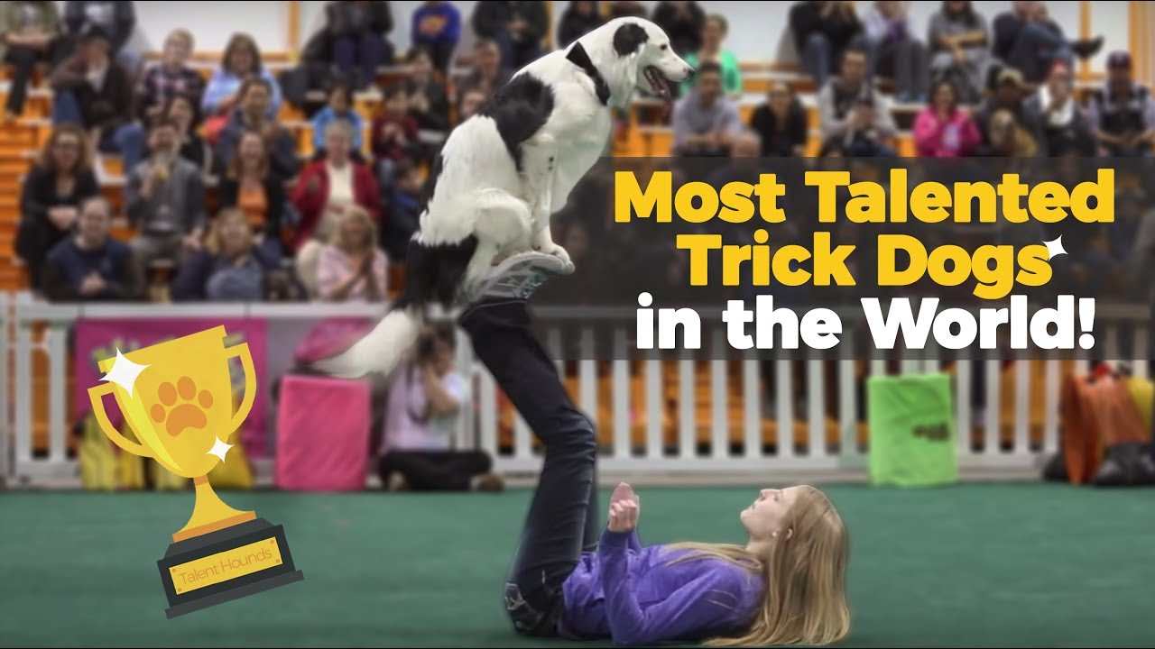 Talented Dogs like Hero the Super Collie from America's Got Talent show amazing tricks