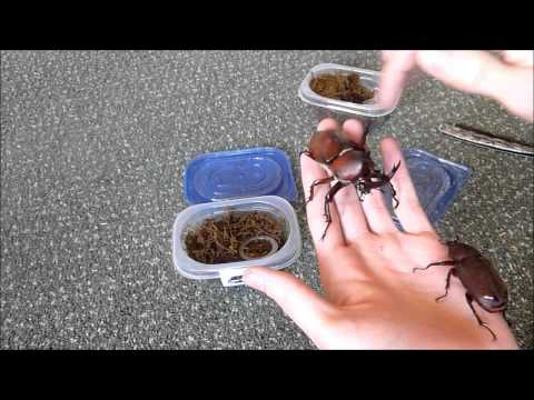 Unboxing 2 Allomyrina dichotoma (Rhino beetle)