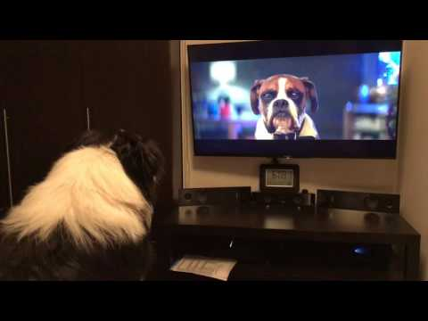 My dog Max reaction to the John Lewis advert 2016. Border collie puppy  sheepdog wizaland pedigree