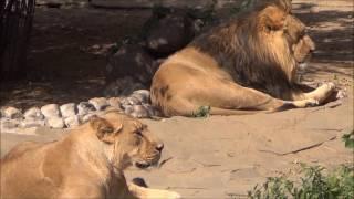 Мир животных. Львы