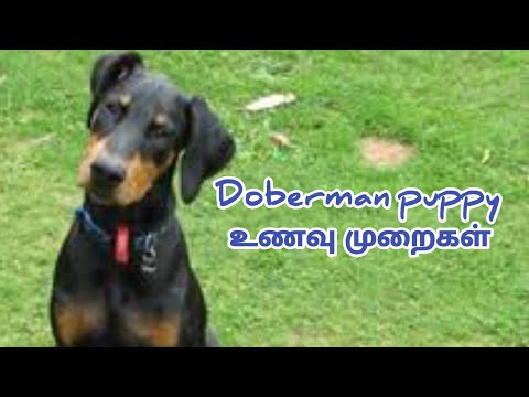 Doberman puppy  2 month to 1 year puppy full diet plan video in Tamil afc gamings
