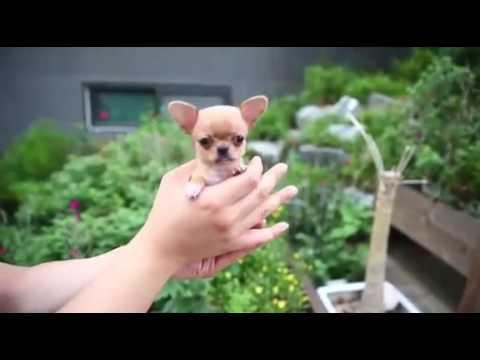 Micro mini Chihuahua